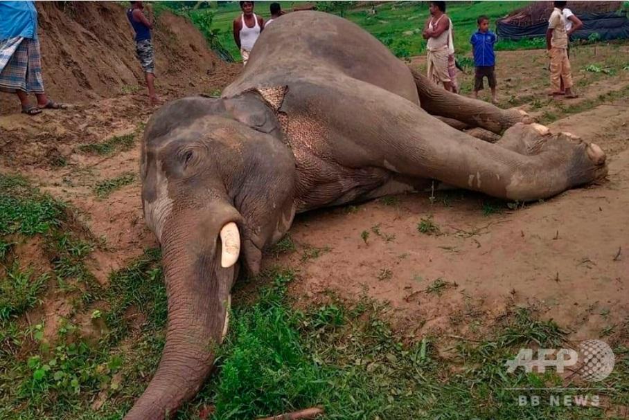 絶滅危機のアジアゾウが電線に接触し感電死、バングラデシュで