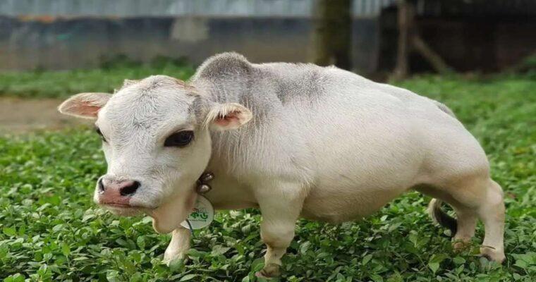 バングラデシュで、51センチの世界最小のウシが大人気、ギネス申請も