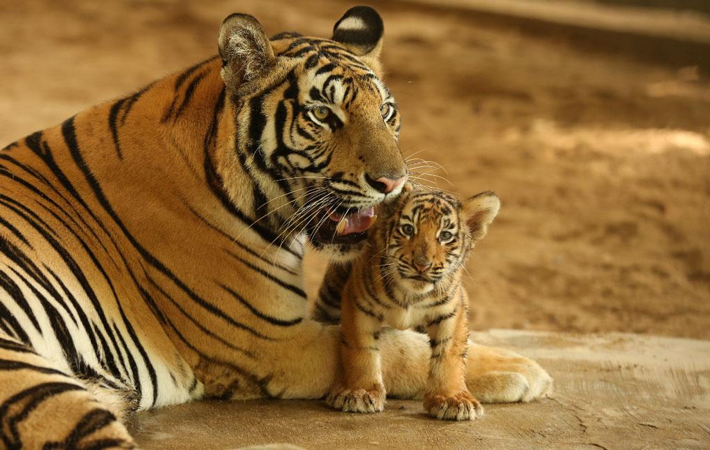 ダッカの国立動物園で2頭のベンガルタイガーが産まれる